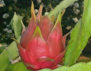 Spicy Exotics Dragon Fruit variety Dark Star fruit