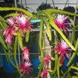 Bruni Dragon Fruit plant