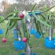 Dragon Fruit variety Hylocereus Costaricensis plant