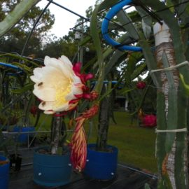 Valdivia Roja Dragon Fruit flower