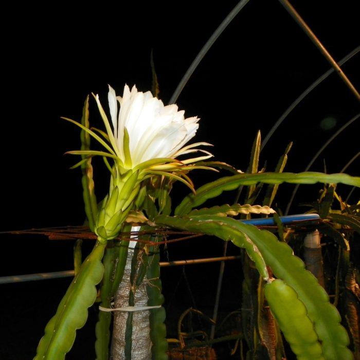 Sin Espinas Dragon Fruit Flower
