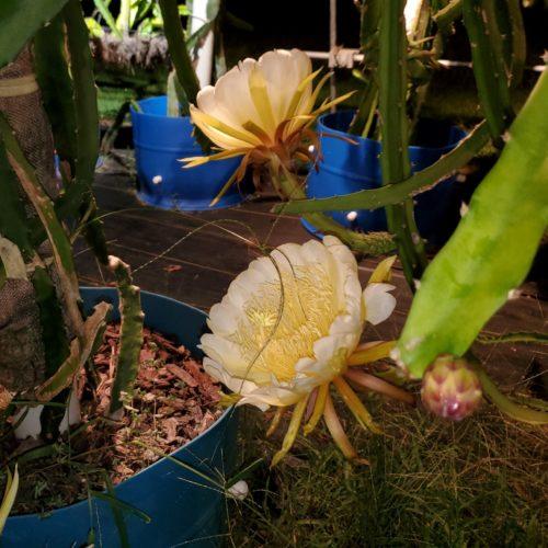 Palora Dragon Fruit Flower