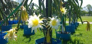 Spicy Exotics Dragon Fruit variety Voodoo Child plant