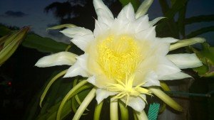 Spicy Exotics Dragon Fruit flower