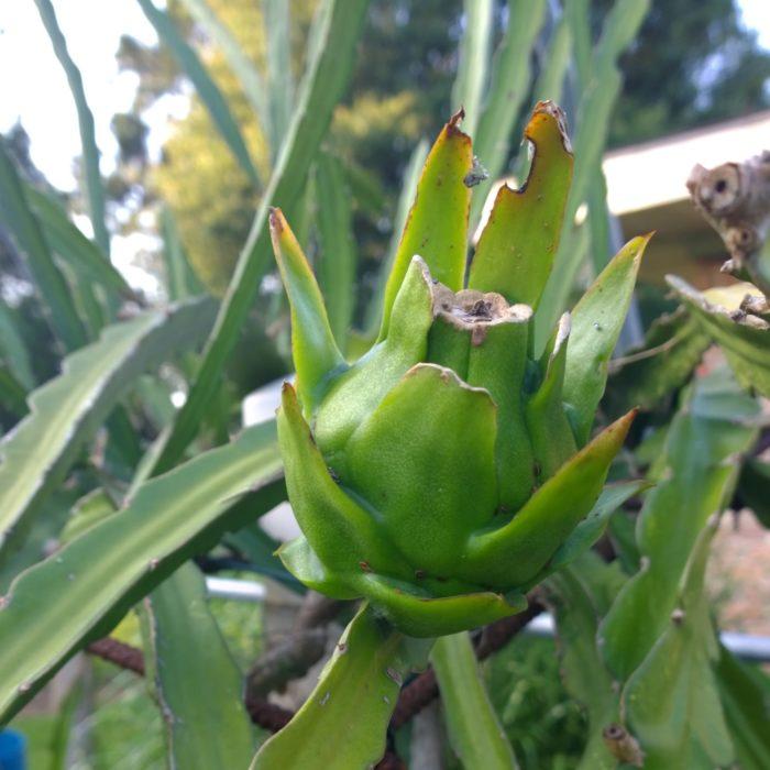 American Beauty Dragon Fruit
