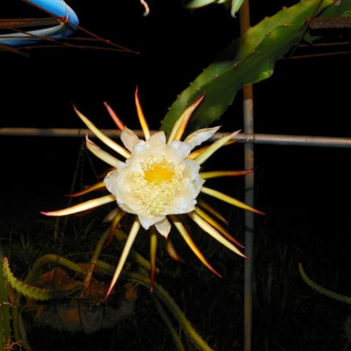 Armando Dragon Fruit variety flower