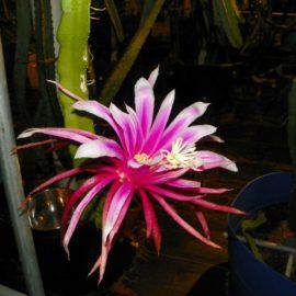 Asunta 3 Purple Dragon Fruit Flower