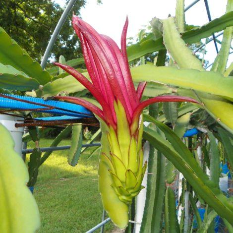 Asunta 3 Purple Dragon Fruit Flower Bud