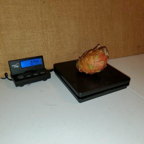 Asunta 3 Purple Dragon Fruit Weight