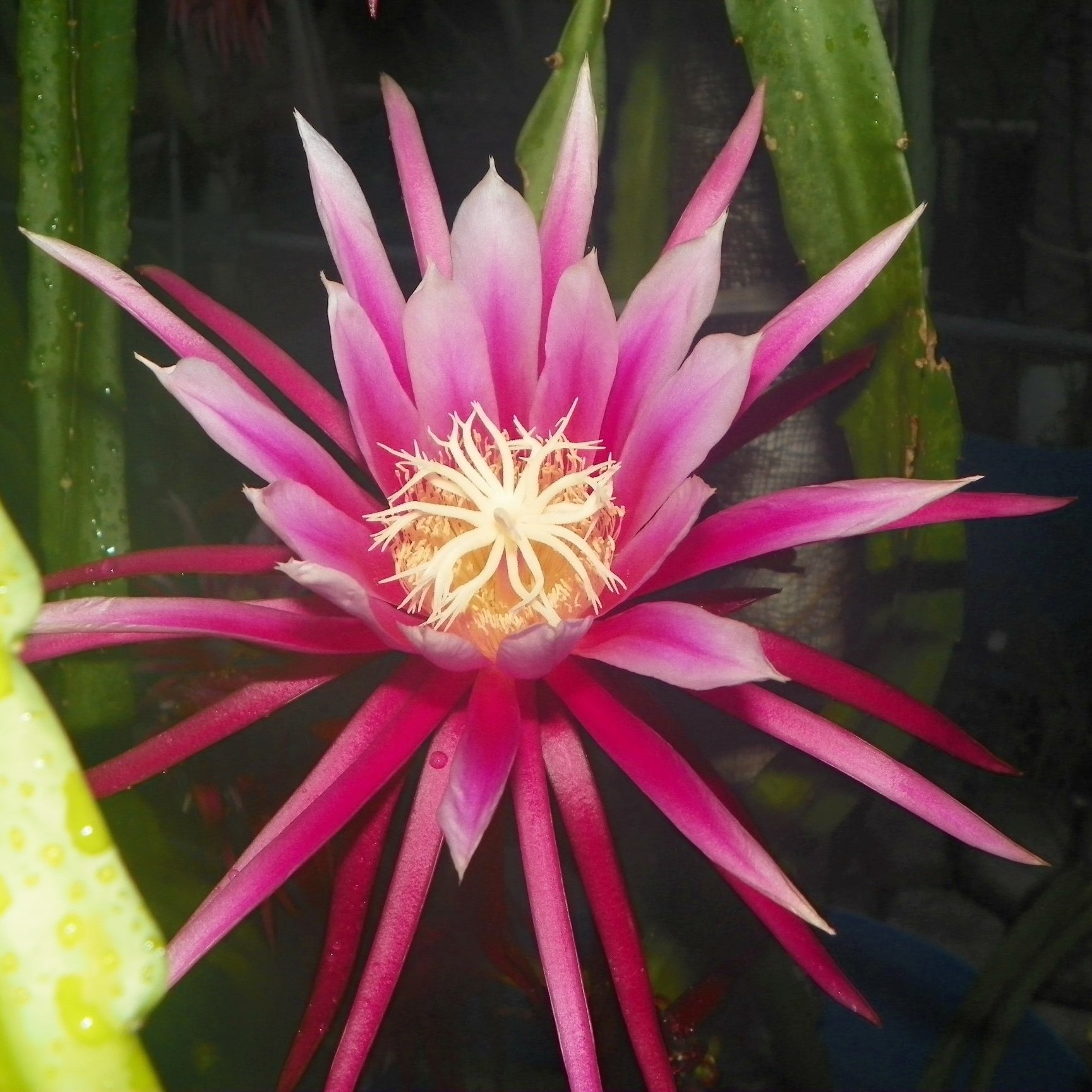 Dragon Fruit variety Bruni flower