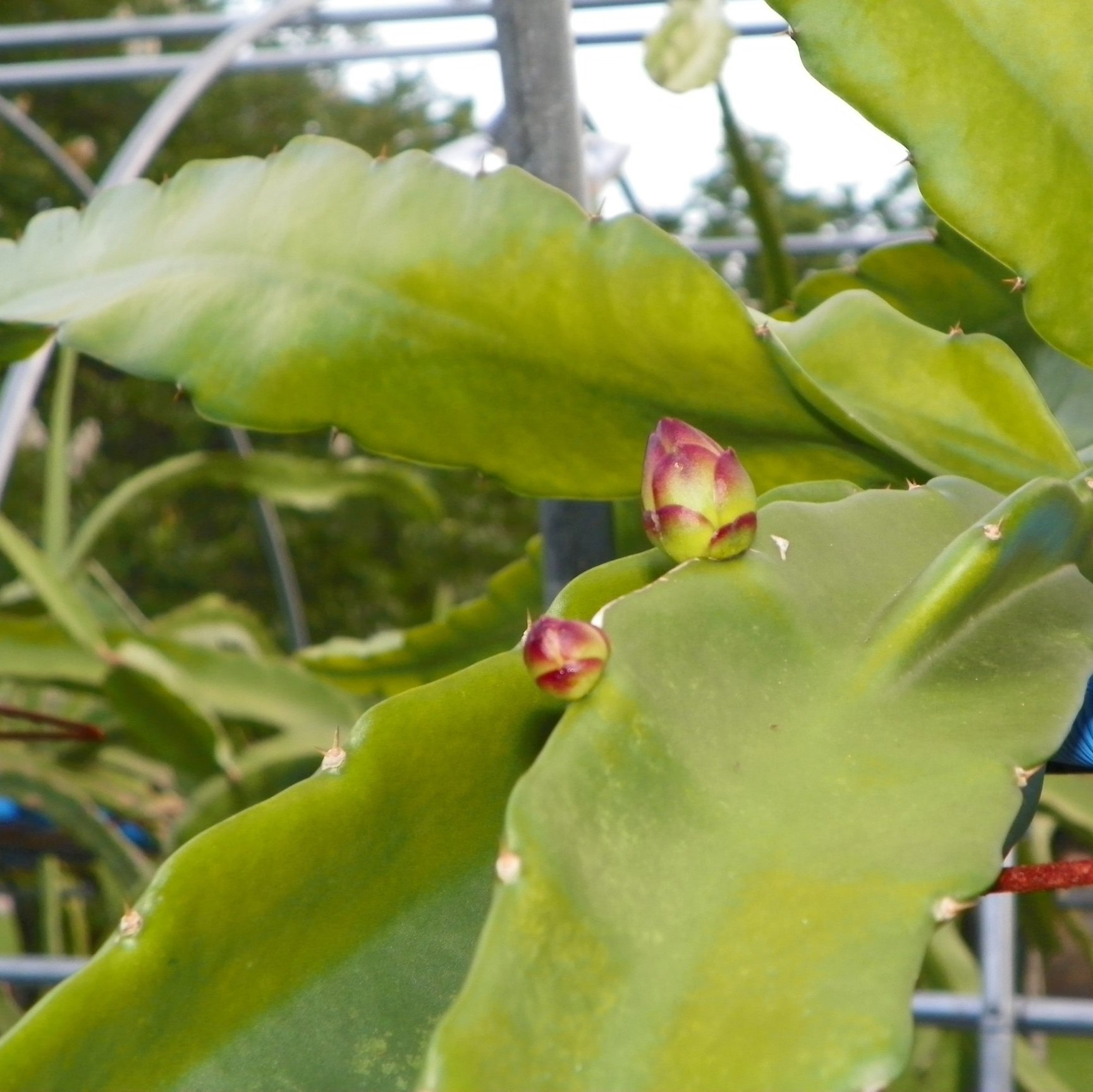 Dragon Fruit variety Bruni flower buds