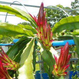 Dragon Fruit variety Bruni flower buds