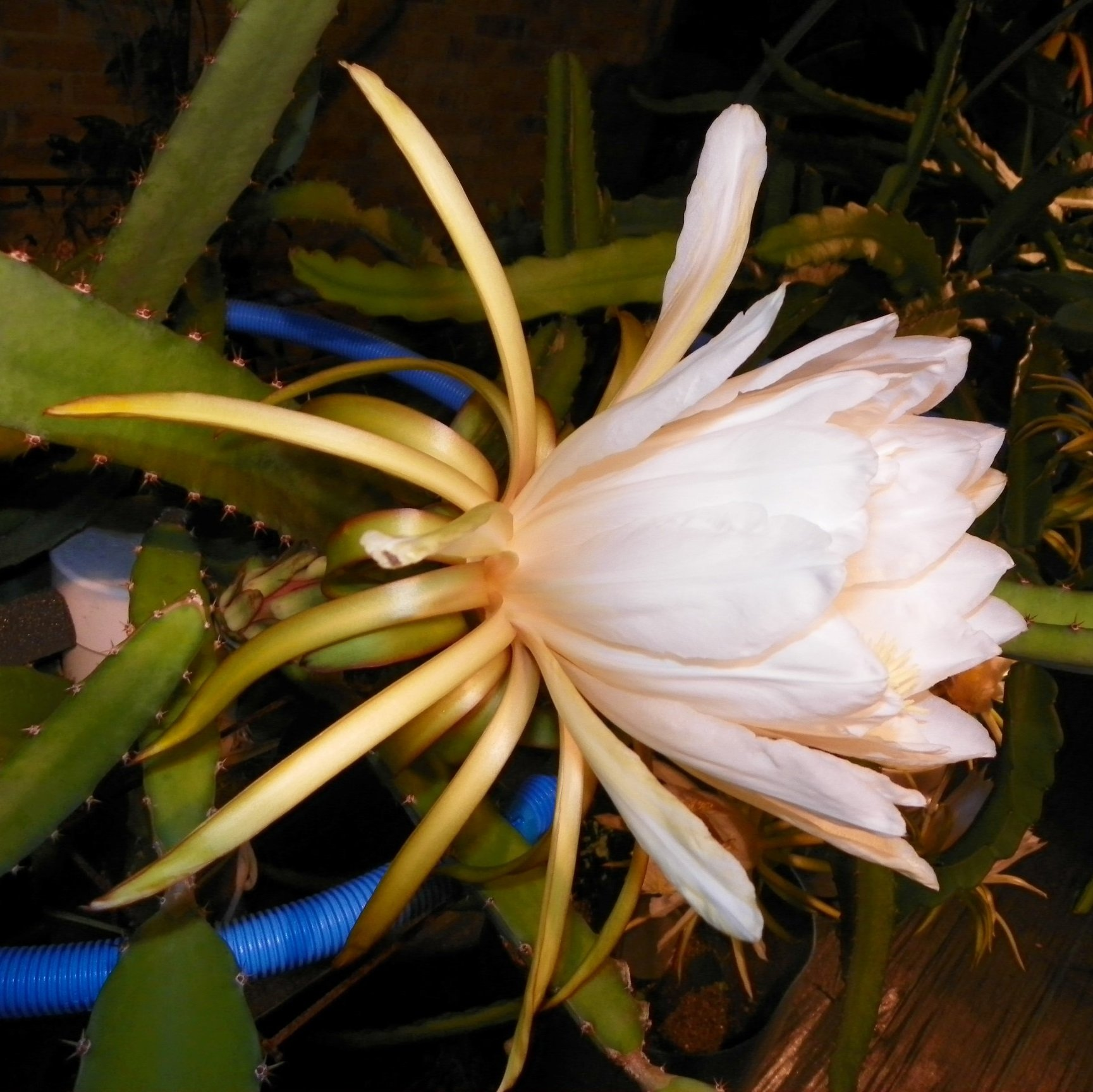 Dragon Fruit variety Cebra flower
