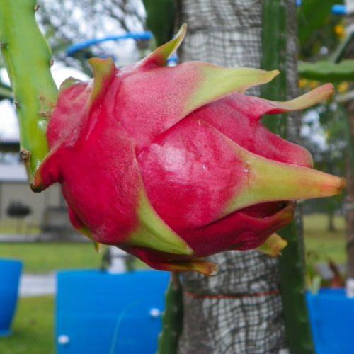 Cosmic Charlie Dragon Fruit