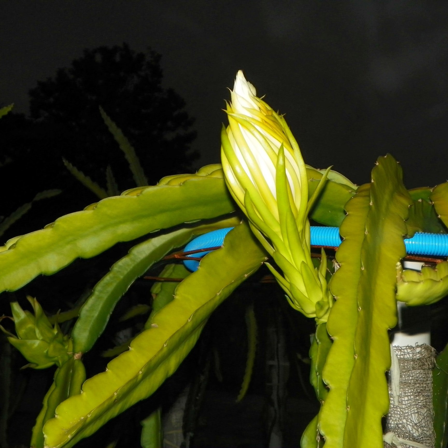 Cosmic Charlie Dragon Fruit flower bud