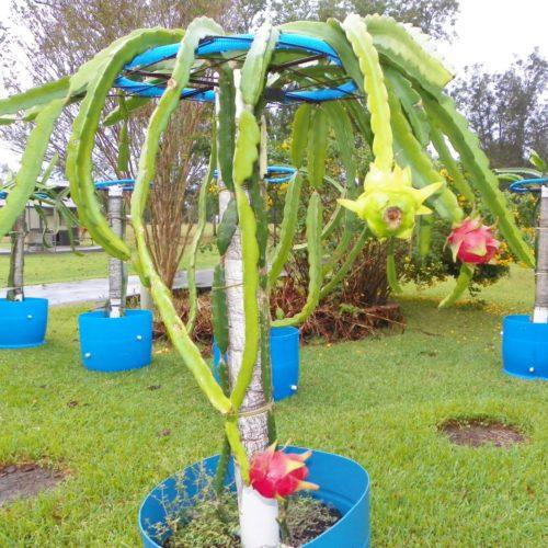 Cosmic Charlie Dragon Fruit plant