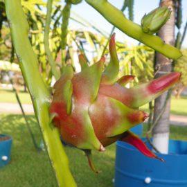 Dragon Fruit variety Condor fruit
