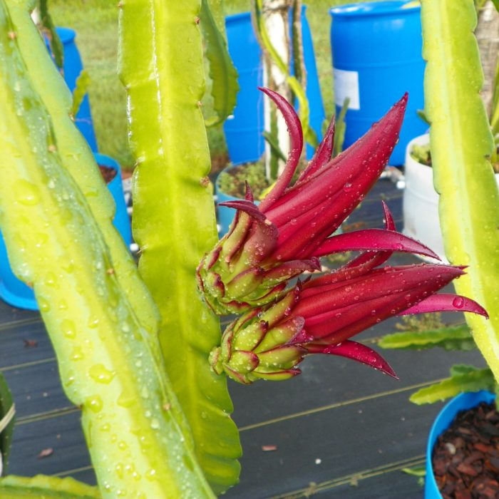 Connie Mayer Dragon Fruit Flower Bud
