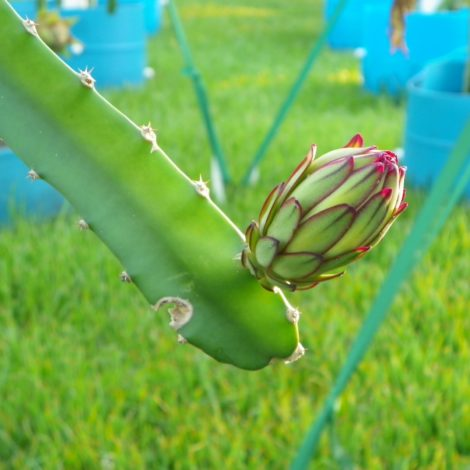 Dragon Fruit variety Hylocereus Costaricensis flower bud