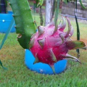 Dragon Fruit variety Hylocereus Costaricensis fruit