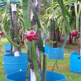 Dragon Fruit variety Hylocereus Costaricensis fruit