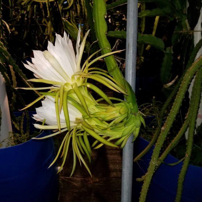 Capistrano Valley Dragon Fruit Flower