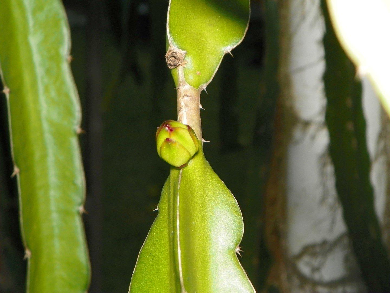 Dragon Fruit variety Delight flower bud