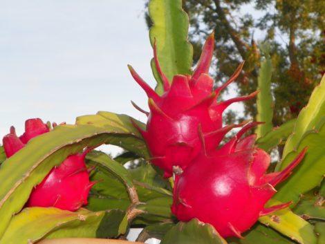 Dragon Fruit variety Delight fruit