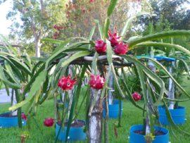 Dragon Fruit variety Delight plant
