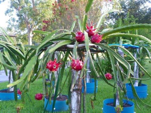 Dragon Fruit variety Delight plant