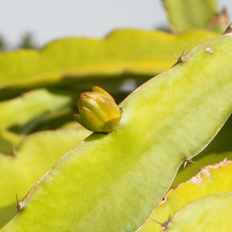Dragon Fruit variety Dark Star flower bud