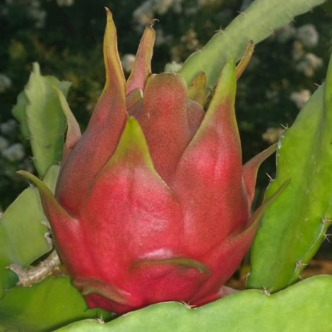 Dragon Fruit variety Dark Star fruit