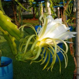 Dragon Fruit variety Dark Star flower
