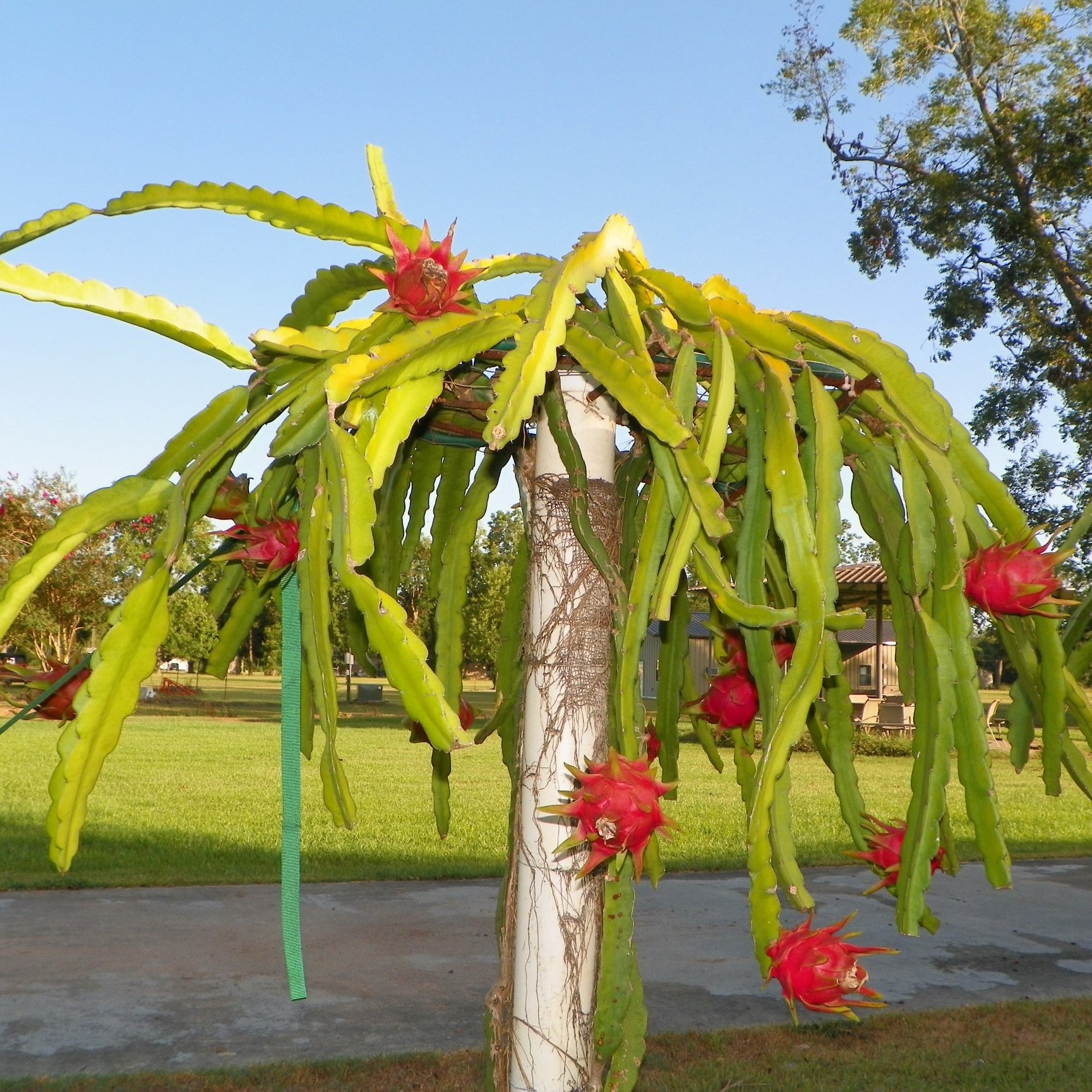 Growing Dragon Fruit Tree: Dark Star Dragon Fruit Purple Flesh Variety From Spicy Exotics