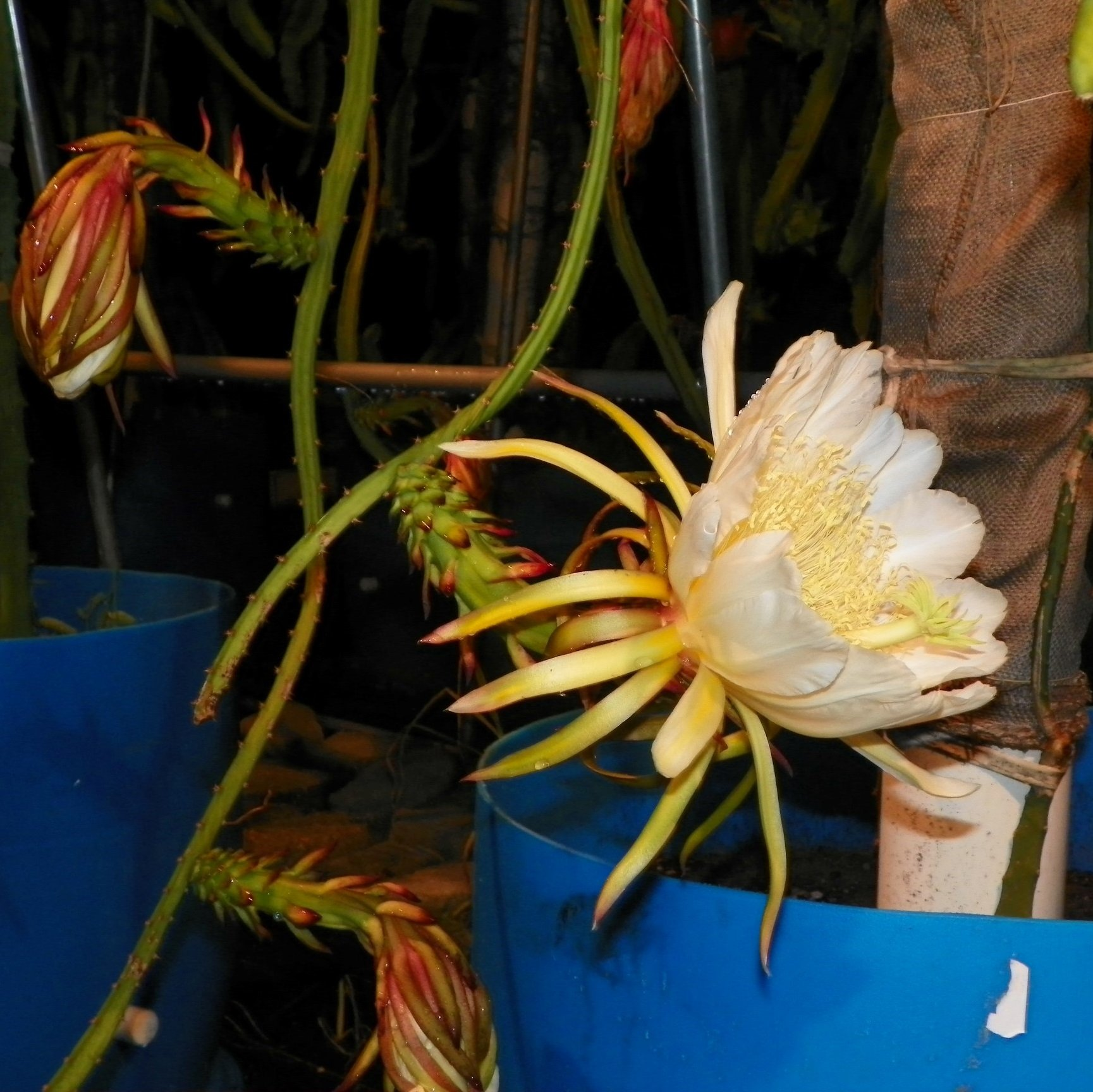 Dragon Fruit variety Frankies Red flower