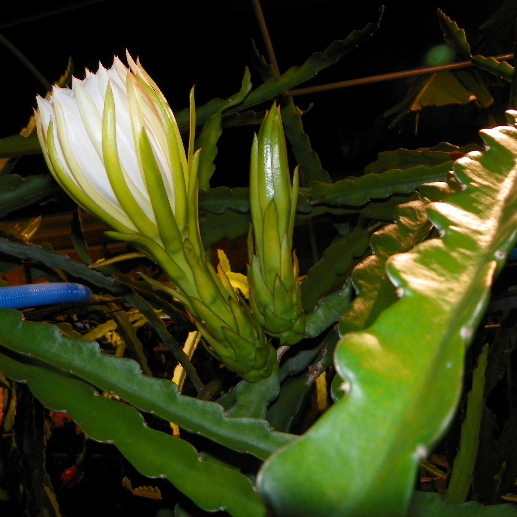 Dragon Fruit variety G2 Thomson flower