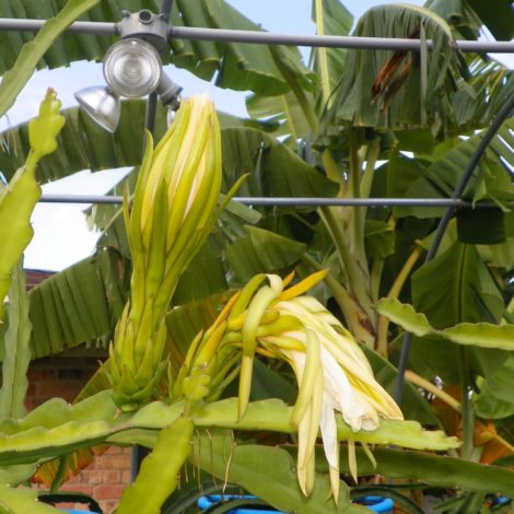 Dragon Fruit variety G2 Thomson flower bud
