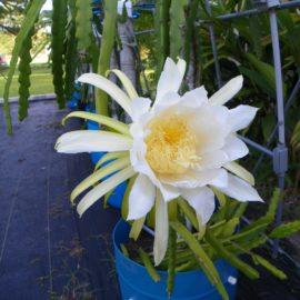 Dragon Fruit variety Hylocereus guatemalensis flower