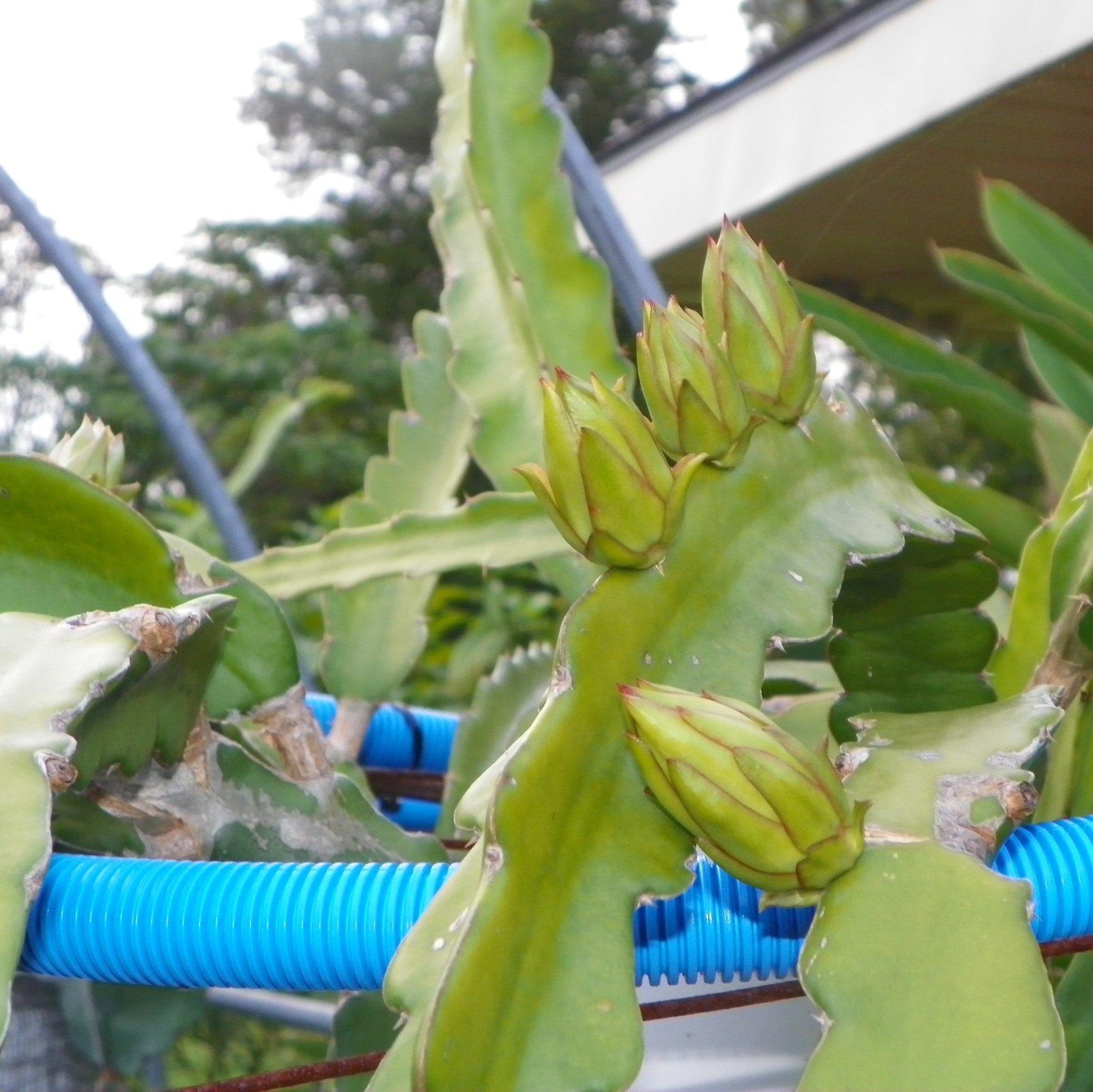 Dragon Fruit variety Hylocereus guatemalensis flower bud