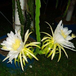 Dragon Fruit variety Halleys Comet flower