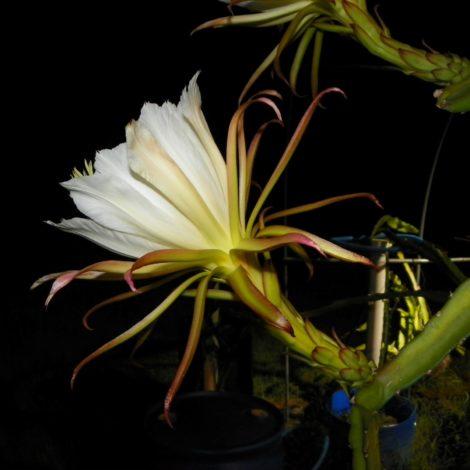 Houghton Dragon Fruit Flower