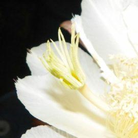Houghton Dragon Fruit Flower Stigma