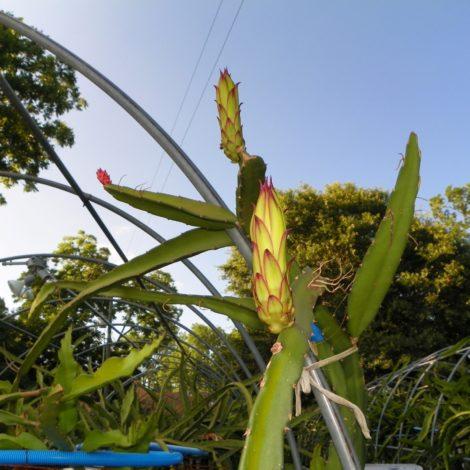 Houghton Dragon Fruit Flower bud