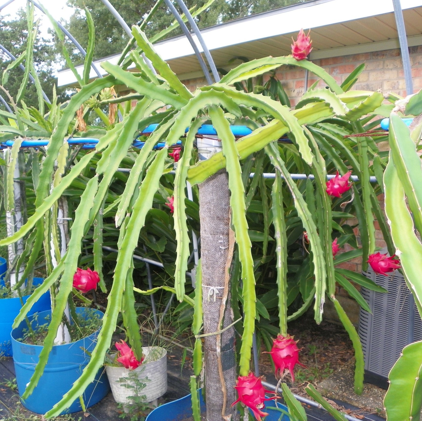 Growing Dragon Fruit Tree: Hana Dragon Fruit White Fleshed Variety From Spicy Exotics