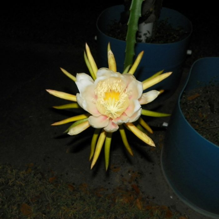 Dragon Fruit variety HanaFlower