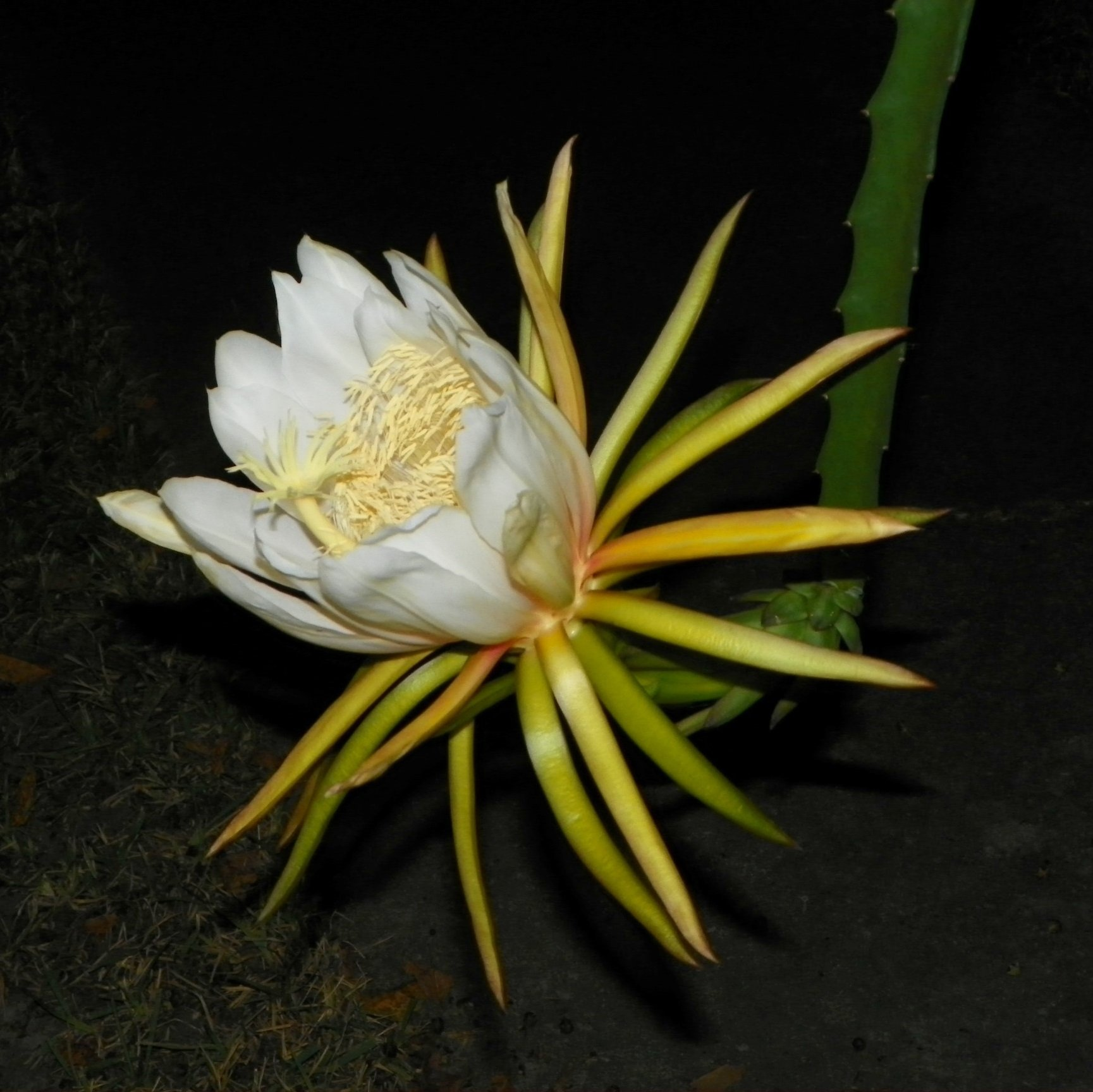 Dragon Fruit variety Hana flower