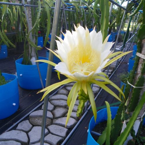 Dragon Fruit variety Harpua flower