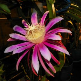 Dragon Fruit variety Kathie Van Arum Flower