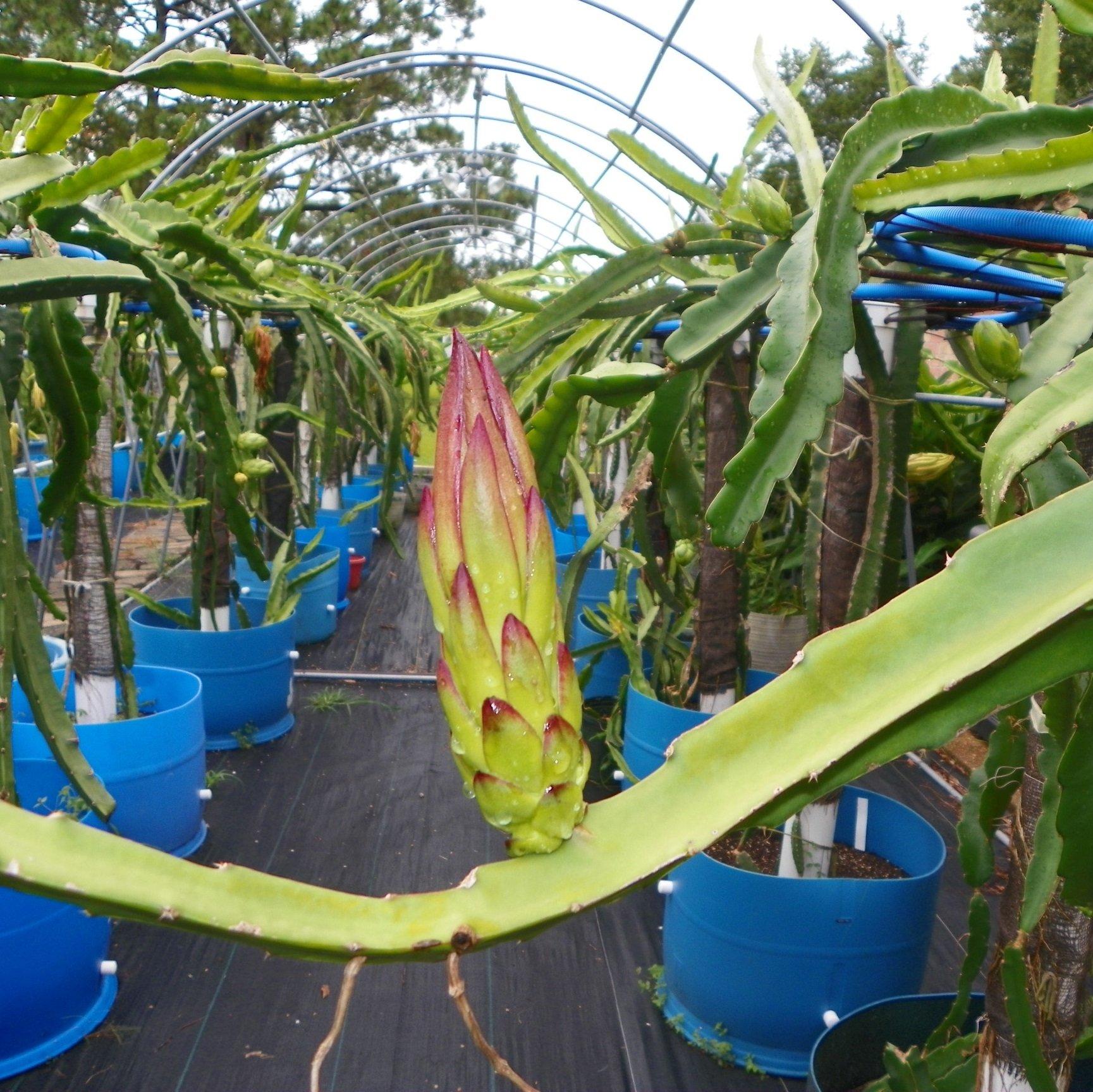 Dragon Fruit variety Kathie Van Arum Flower bud