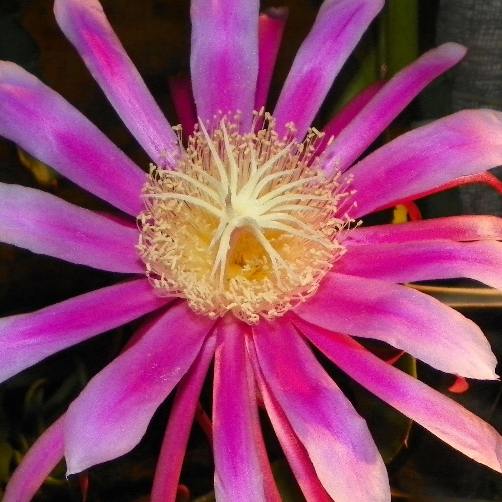 Dragon Fruit variety Kathie Van Arum Flower Stigma